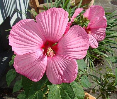 Flower, Plant, Hibiscus, Mallow