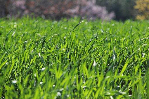 Grass, Growth, Flora, Lawn, Leaf, Field, Summer