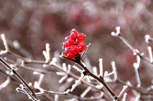 Nature, Season, Winter, Branch, Red, Berries, Park