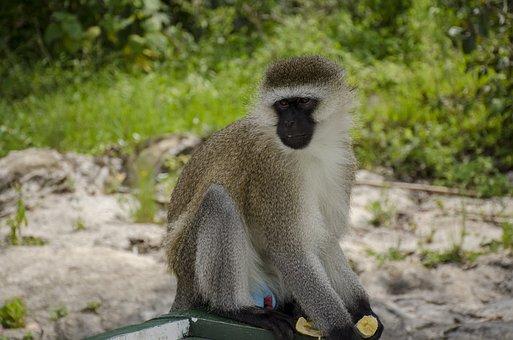 Monkey, Wildlife, Nature, Primate, Animal