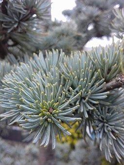 Winter, Needle, Tree, Nature, Christmas