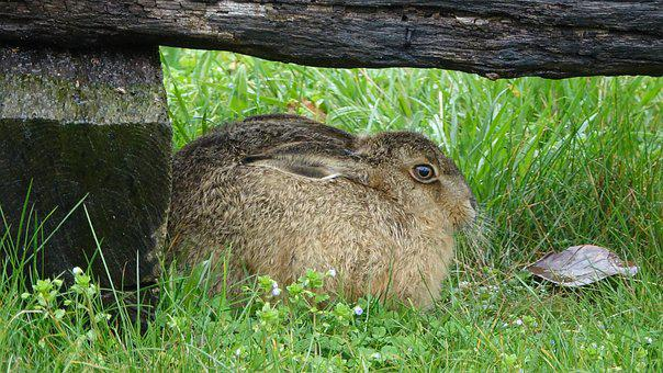 Lawn, Nature, Hare, Outdoor
