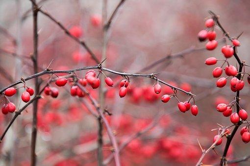 Nature, Winter, Season, Tree, Red, Berries