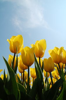 Nature, Plant, Tulip, Sheet, Yellow, Clouds, Air