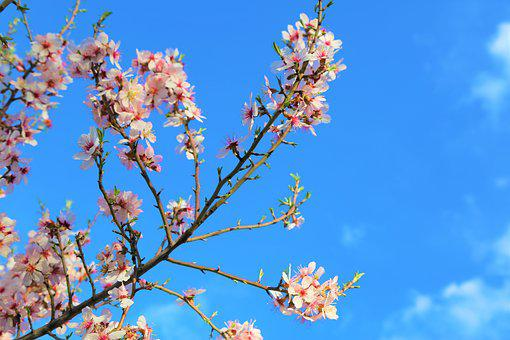Almond Branch, Flower, Tree, Plant, Blooming, Spring