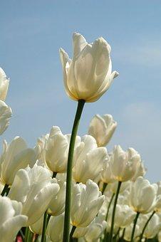 Nature, Plant, Summer, Garden, Tulip, White