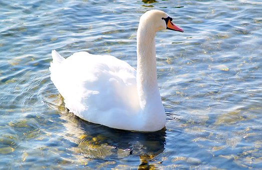 Waters, Bird, Swan, Lake, Nature, Mute Swan, Water Bird