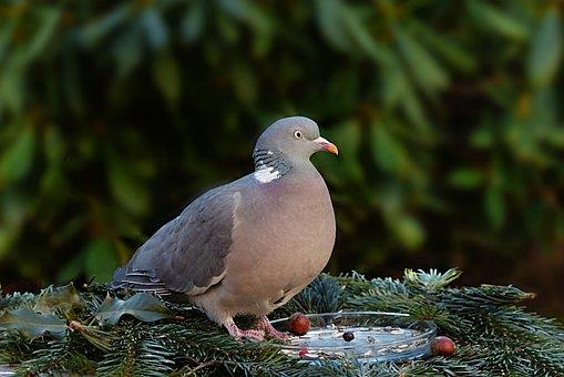 Animal, Bird, Dove, Wild Pigeon, Doves And Pigeons