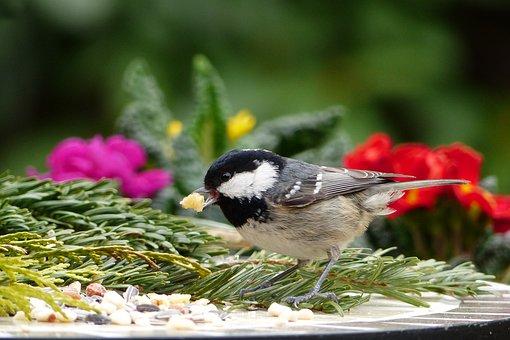 Animal, Bird, Tit, Coal Tit, Periparus Ater, Songbird