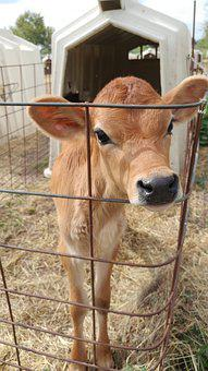 Mammal, Farm, Animal, Cattle, Livestock, Cow, Milk
