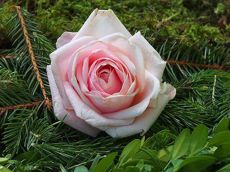 Nature, Flower, Pink, Rose, Corpus Christi