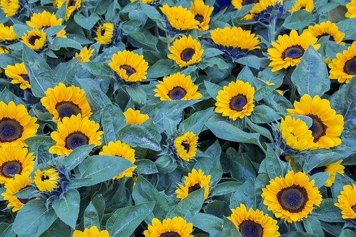 Flower, Plant, Nature, Summer, Garden, Sunflower