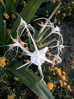 Spider Lily, Flower, Flora, Nature, Leaf, Garden