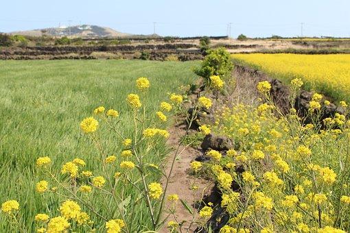 S, Flowers, Nature, Scenery, Hayfields, Jeju