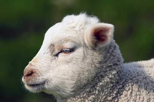 Nature, Animal Kingdom, Mammals, Cute, Lamb, Sheep