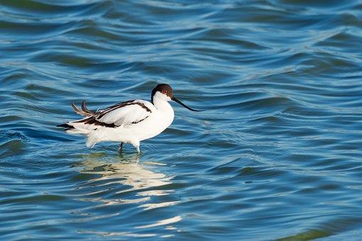 Pied Avocet Wading, Eye, Looking, Bird, Avian