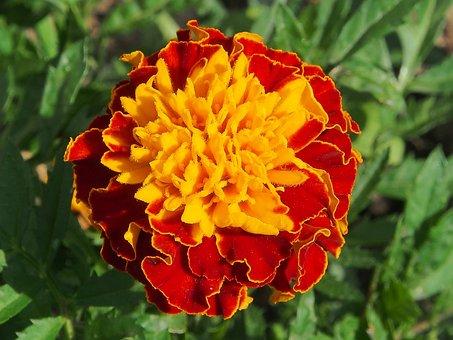 Flower, Yellow Orange, Summer, Flowers, Marigold