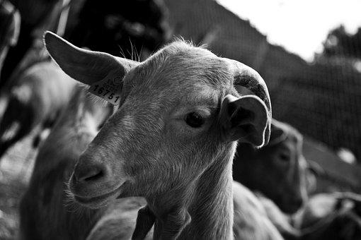 Goat, Monochrome, Farm