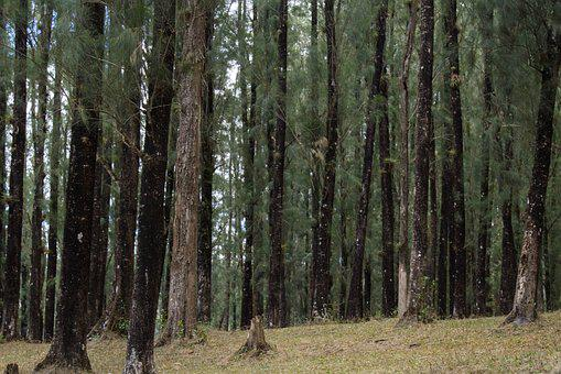 Wood, Tree, Nature, Landscape, Pinidae, Park, Pine