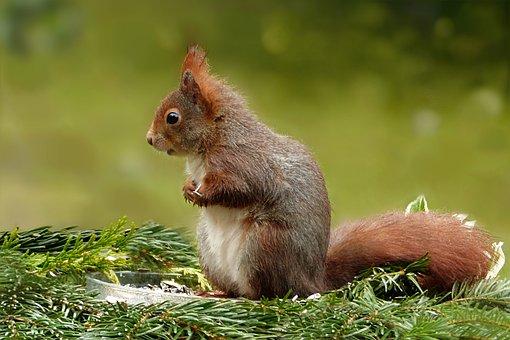 Animal, Squirrel, Sciurus Vulgaris, Mammal, Rodent
