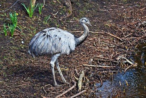 Greater Rhea, Nandu, Bird, Animal, Flightless