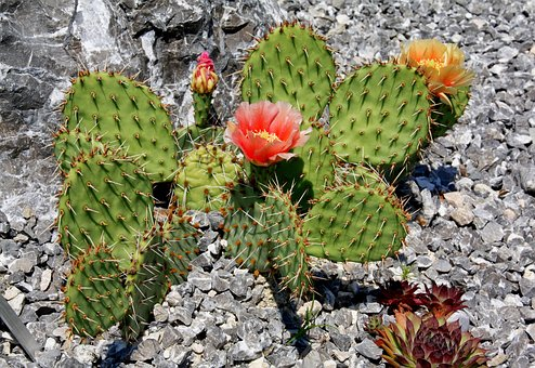 Cactus, Thorn, Desert, Barbed, Juice Plant, Plant