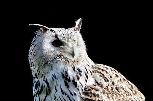 Siberian Owl, Owl, Eagle Owl, Bird Of Prey, Raptor