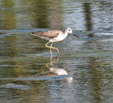Marsh Sandpiper, Bird, Wildlife, Shorebird, Marsh, Lake