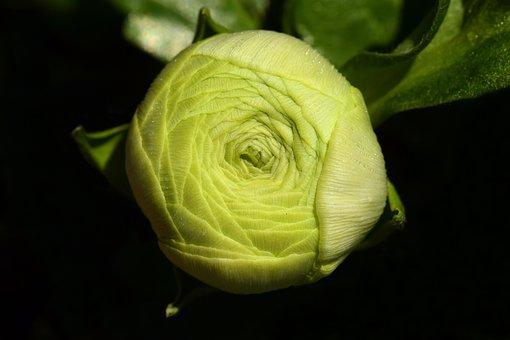 Ranunculus, Bud, Blossom, Bloom, Green, Closed, Spring