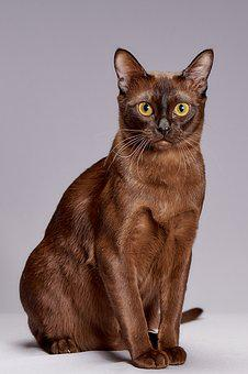 Animals, Cute, Cat, Pet, Breed Burmese, Kitten