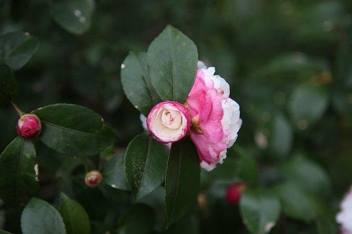 Camellia, Plant