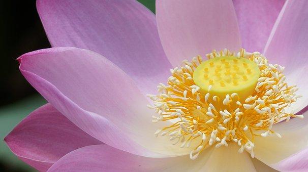 Lotus, Flower, Plant, Nature, Good Looking
