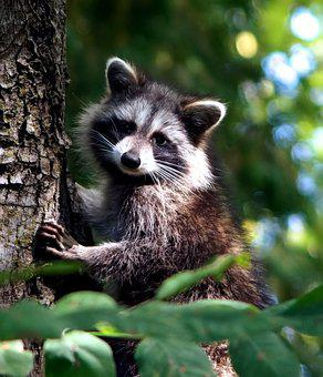 Wildlife, Mammal, Animal, Nature, Cute, Raccoon, Furry