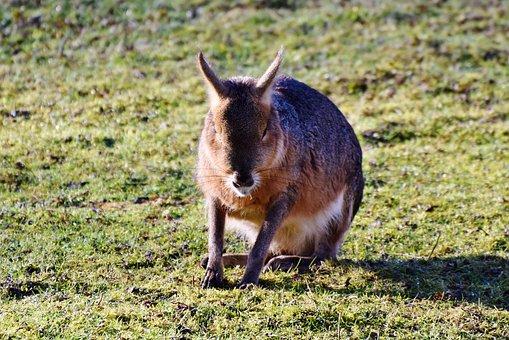 Hare, Wild Hare, Wild, Long Eared, Rabbit, Wild Rabbit