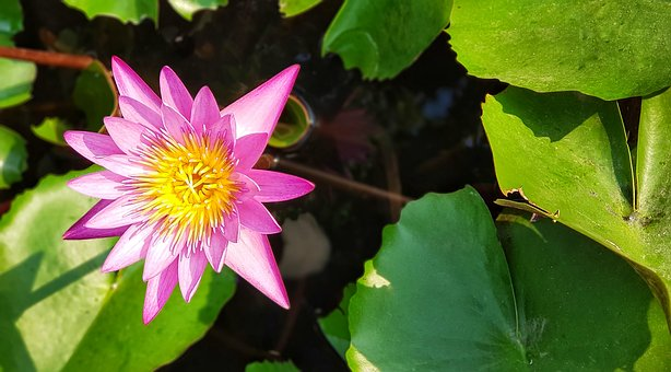 Pink, Red, Lily, Lotus, Waterlily, Flora, Flower, Pond