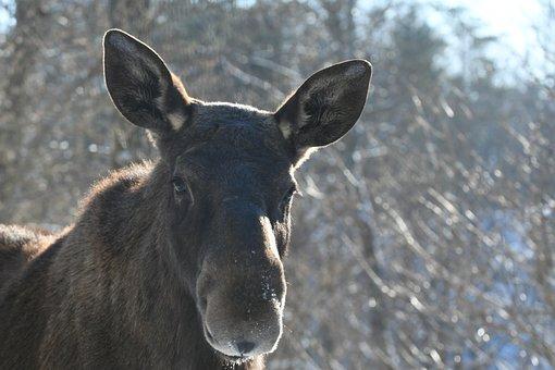 Nature, Animals, Animal Life, Mammal, Wild, Moose, Cute