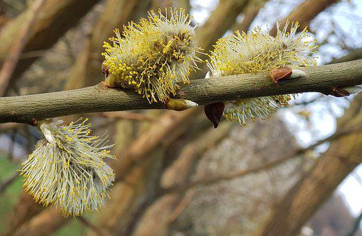 Willow Catkins, Tree, Nature
