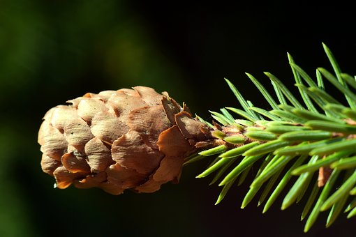 Tap, Brown, Close, Needles, Green, Conifer, Branch