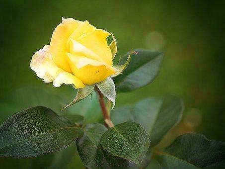 Flower, Nature, Leaf, Plant, Rose, Garden, Landscape