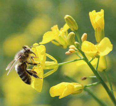 Nature, Bee, Insect, Pollination, Pollen, Honey Bee