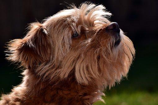 Terrier, Small, Fur, Pet, Hairy, Scrubby, Brown, Head