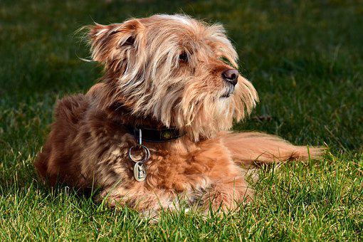Terrier, Meadow, Grass, Small, Hairy, Fur, Scrubby, Sit