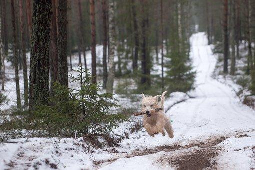 Animal, Dog, Wheaten, Soft Coated, Terrier, Snow