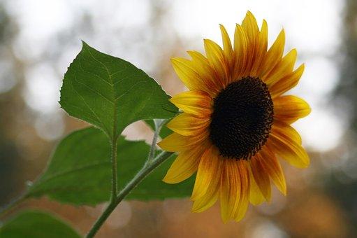 Flora, Nature, Flower, Leaf, Summer, Sunflower, Spring