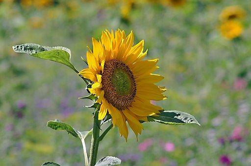 Plant, Nature, Flower, Summer, Field, Sun Flower, Sun