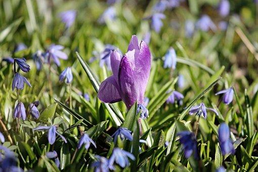 Crocus, Spring, Violet, Meadow, Dog Violets, Lenz