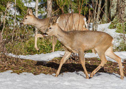 Roe Deer, Mammals, Wild Animals, Nature