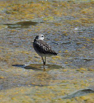 Wood Sandpiper, Migratory, Bird, Wildlife, Outdoors