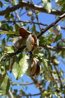 Tree, Fruit, Branch, Nature, Plant, Almond Tree