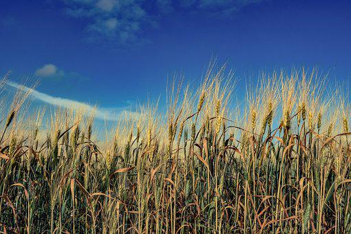 Barley, Wheat, Cereal, Rural, Field, Nature, Golden